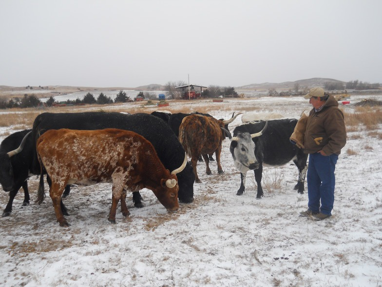 Nearly every color of the rainbow is apparent in the registered Longhorn cows with long shapely horns as Stan Seuser of Salina explained that they've been having black calves sired by an Angus bull and often topping sale barn offerings at market time.