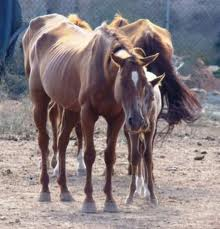 With controversy of horse meat illegally being sold overseas in beef products, and imminent concerns of similar problems in this country, discussions about horse slaughter are again being aired, as increased cases of horse abuse and starvation are being reported, with lawsuits pending in several states.