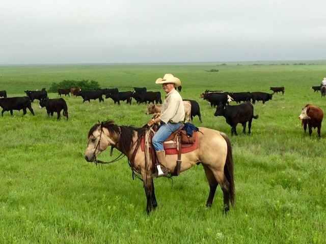 A cowboy can move out of his homeland, but there's generally the urge to return, and that's most often the case for those growing up in the Flint Hills of Kansas. Rex Buchman of the Bar U Ranch at Burdick graduated from Kansas State University, served as a college beef herdsman in Texas, was a county agent in New Mexico, and now again rides his horse in the Bluestem cattle country of his heart. He's on Hollywood Bear Cat, aka Oso, a CRR Hurricane Cat son that goes back to Hollywood San Doll, Hollywood Lilly, Foxy Gold Squaw, and  Little Gold Squaw on the bottom side of his American Quarter Horse Association registration papers.