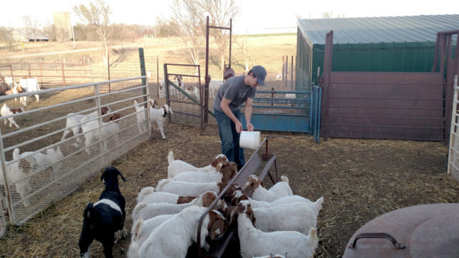 Supper time had this year's lamb crop running to the trough when Sam Davis came home from college Friday evening to help with chores at Davis Prairie Star Show Goats near Madison.