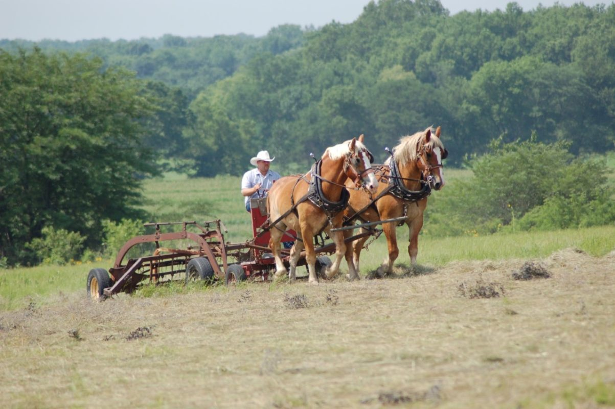 When work needs done on the farm, 3C Carriage Service calls upon their Belgian team for the task. The draft horses have verified their skills in competition at the Kansas State Fair, Hutchinson.