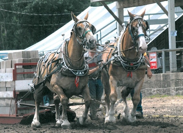 Draft horse teams liked this pair of Belgian mares are getting conditioned this week for the Draft Horse Pull, Saturday evening, June 14, starting at 6 o'clock, at the arena located at 829 South Rodeo Drive in Burlingame. It's a special attraction planned by the Burlingame Saddle Club.