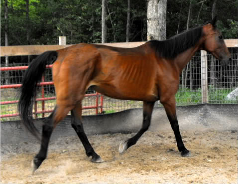 Otherwise seemingly healthy horses that are difficult to keep at desirable weight condition could benefit from feeding cooking grain.
