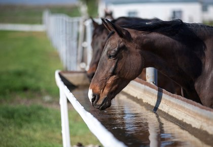 """Horses that are finicky about their water when away from home can often be coaxed to consume water that is masked with flavoring agents such as """"Kool-Aid."""""""