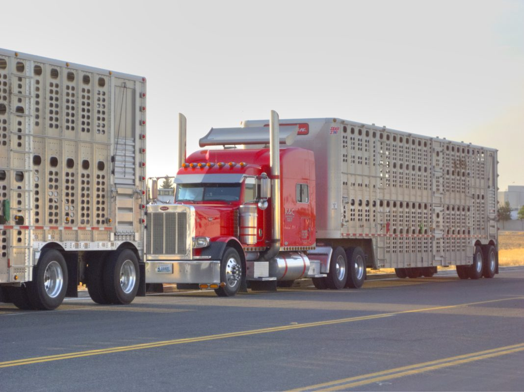 Semi-tractor cattle trailer rigs coordinated through Livestock Dispatch at Cottonwood Falls haul cattle to Flint Hills pastures in the spring and away to feedlots every fall.
